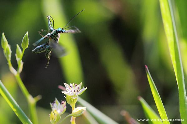 Oedemera (Oedemera) nobilis