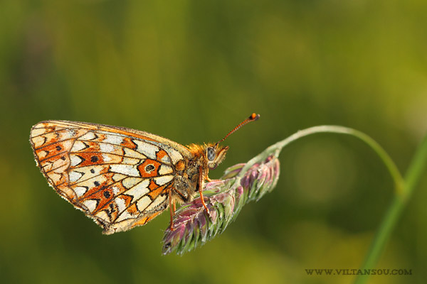 Boloria (Clossiana) selene