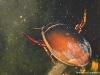 Dytique (Dytiscus sp.)