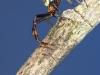 Misumena vatia mâle