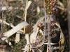 Juvéniles d'Araneidae