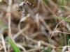 Argiope bruennichi