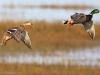 Couple de canard colvert