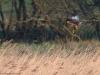 Busard des roseaux
