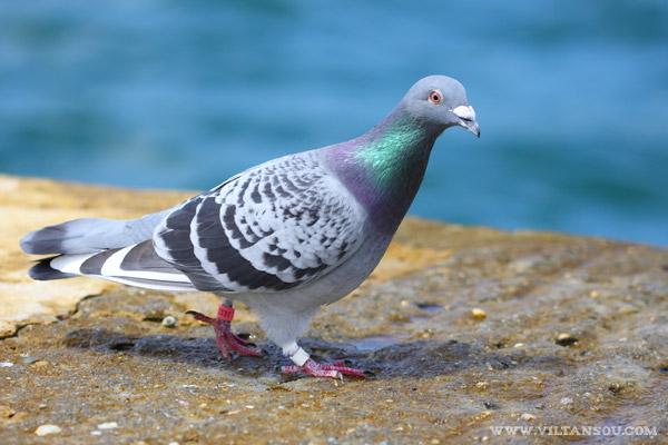 Pigeon biset ( Columba livia )
