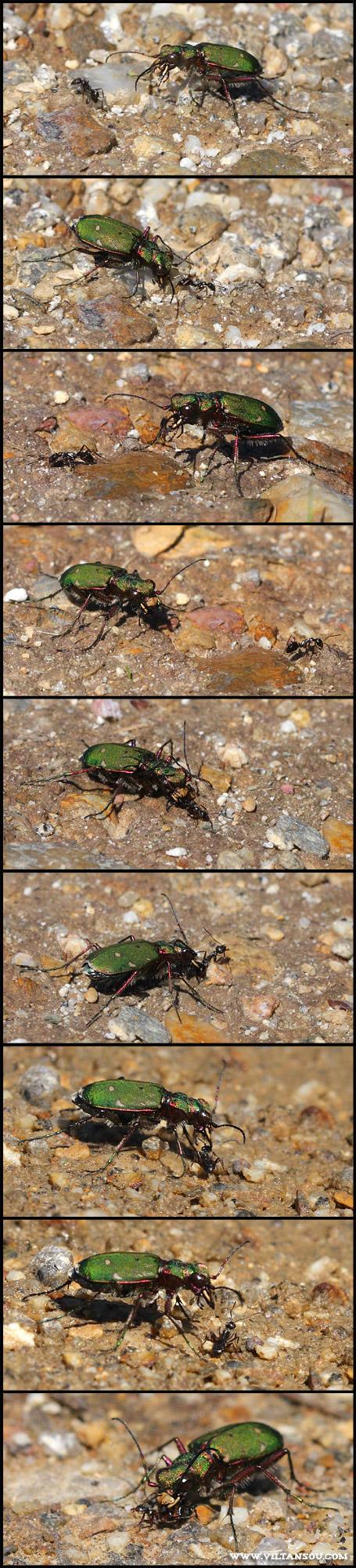 Cicindela campestris ( Cicindèle champêtre ) à la chasse