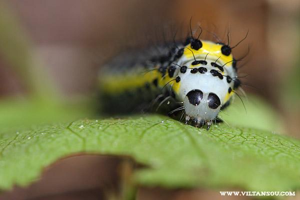 Chenille de Diloba caeruleocephala ( Double oméga, Noctuelle à tête bleue )