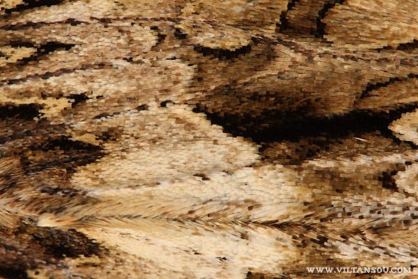 Apamea monoglypha ( Noctuelle radicée )