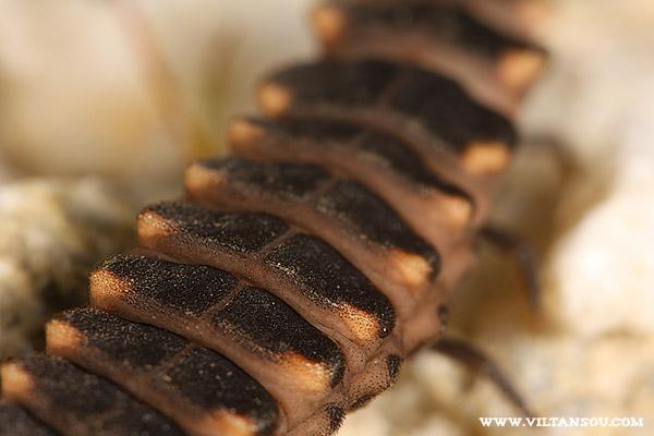 larve de Lampyris noctiluca (ver luisant)
