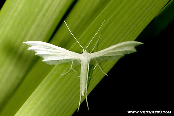 ptérophores blancs ( Pterophorus pentadactylus )