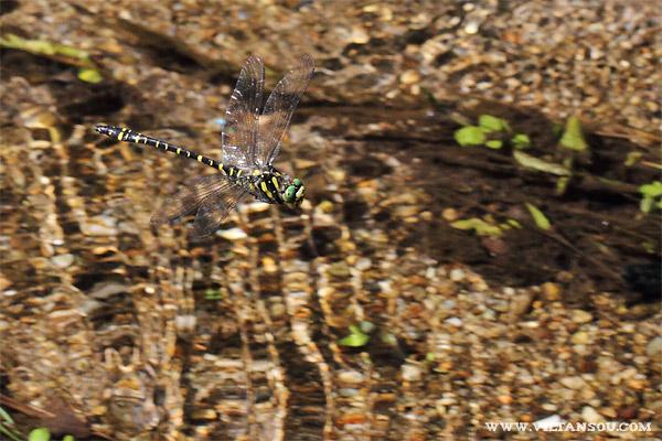 Cordulegaster boltonii (F : Cordulegastridae - O : Odonata)