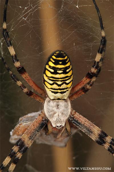 Argiope bruennichi (F : Araneidae - O : Araneae) : Argiope frelon femelle