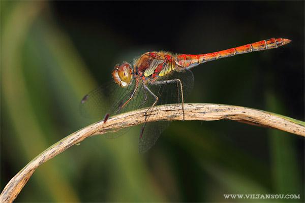 Sympetrum striolatum (F : Libellulidae - O : Odonata) : Sympétrum strié mâle