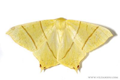 Ourapteryx sambucaria