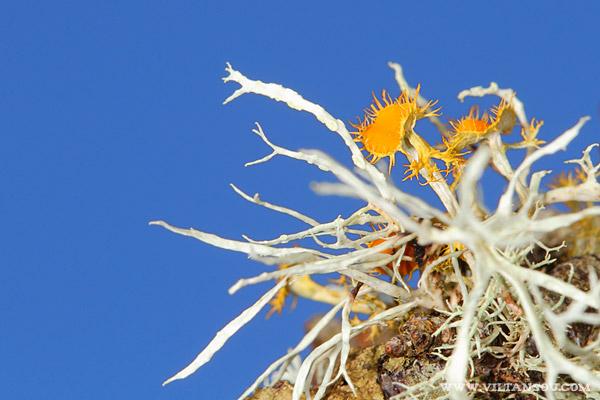 Teloschistes chrysophthalmus (Lichen aux yeux d'or)