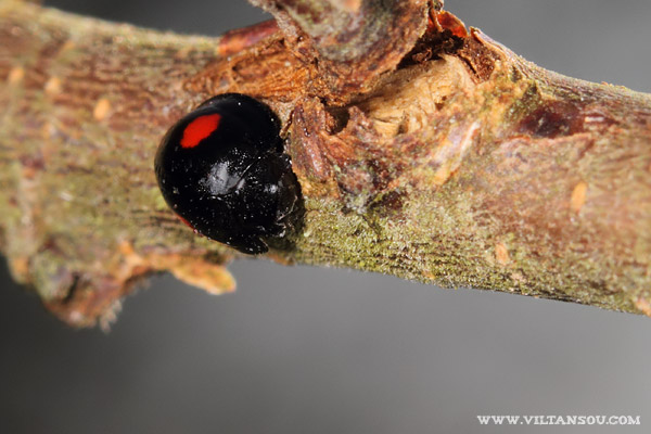 Chilocorus renipustulatus (la Coccinelle du Saule)