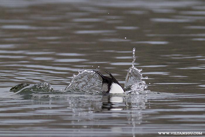 Fuligule morillon mâle plongeant