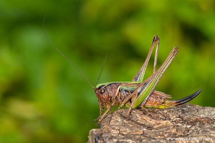 Metrioptera brachyptera (Decticelle des bruyères) femelle