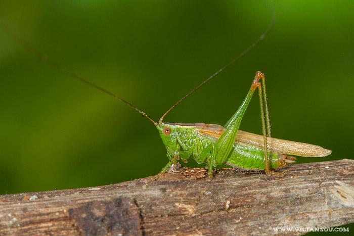 Conocephalus fuscus (le Conocéphale bigarré) mâle