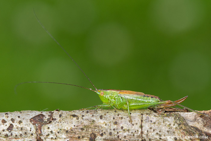 Conocephalus dorsalis (le Conocéphale des roseaux) femelle