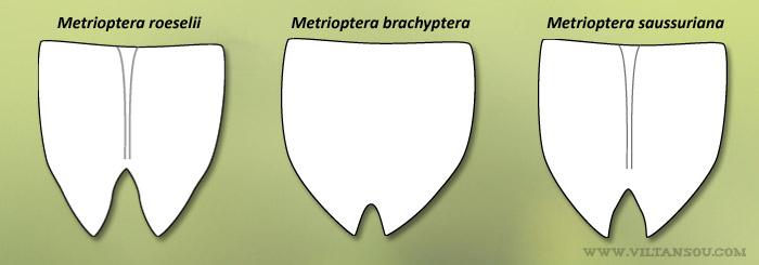 Plaques sous-génitales des Metrioptera femelles