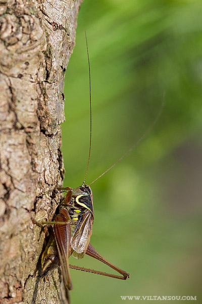 Metrioptera roeselii mâle