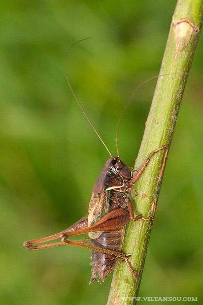 Metrioptera saussuriana mâle