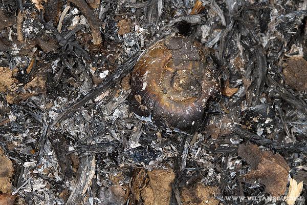 Elona quimperiana (L'escargot de Quimper)