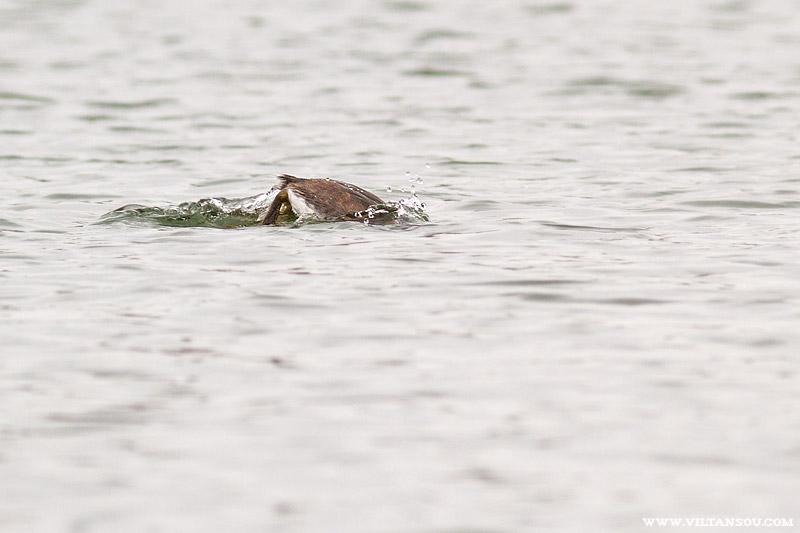 Grèbe huppé plongeant