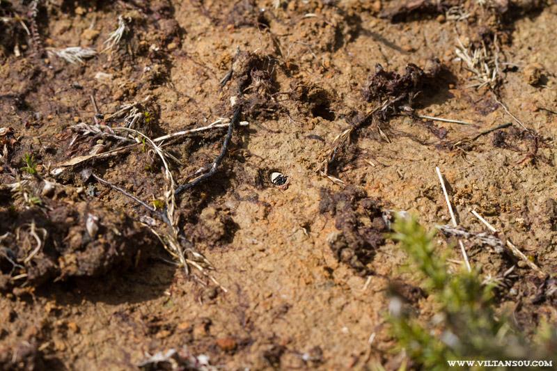 Larve de Cicindela campestris ( Cicindèle champêtre )