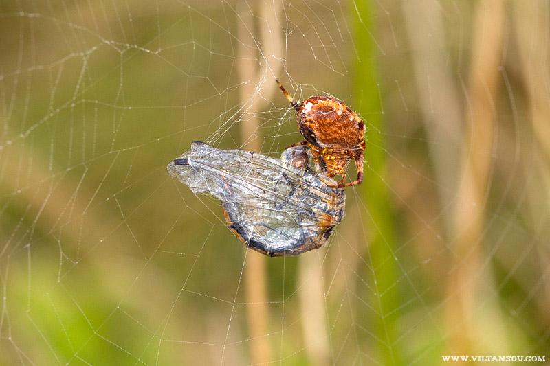 Mais la vie de Sympetrum est aussi semée d'embûches, ou plutôt d'araignées.