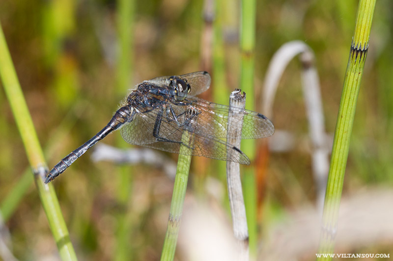 Sympetrum danae mâle adulte