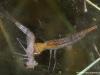 Larve de dytique chassant une larve de libellule