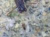 Corixidae ( Corise ) -  hétéroptère