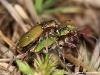 Cicindela campestris ( Cicindèle champêtre )