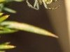 Mangora acalypha ( Mangore petite-bouteille )