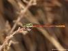 Pyrrhosoma nymphula ( Petite nymphe au corps de feu )