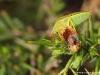 Punaise ( Piezodorus lituratus )