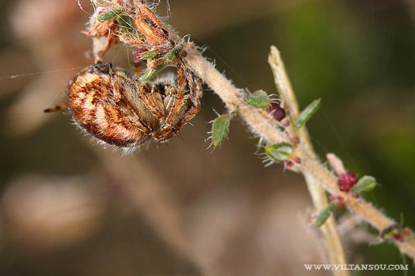 Agalenatea redii ( épeire de velours )